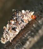 Psychidae, Säckspinnare, Bagworms