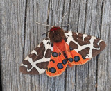 Swedish Tiger Moths