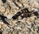 SWEDISH WASPS,GETINGAR (Vespidae)