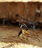 PARASITICA, Parasitsteklar, Parasitical wasps and ichneumon flies