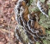 Tickor, Bracket Fungi
