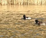 Swedish  Swans, Geese  and Ducks