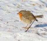 European Robin, Rödhake
