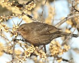 Swedish Dipper, Waxwing and Thrushes