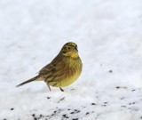 Swedish Sparrows, Finches, Crossbills and Buntings