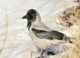 Hooded Crow, Gråkråka, Corvus corone cornix.jpeg