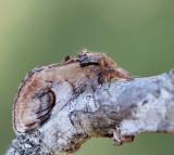Piltandvinge, Pebble Prominent, Notodonta ziczac. jpeg