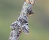 Vinterekspinnare, Drymonia ruficornis.jpg