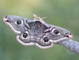 Saturniidae, Emperor moths, Påfågelspinnare