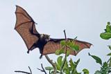 Fruit Bats of American Samoa