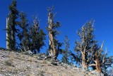 Ancient Bristlecone Pine Forest, Sep 2019