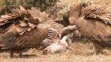 Vultures of Monfragüe
