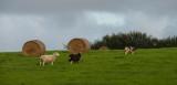 Sheep & Bales