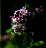 Lilac from the hedgerow