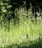 Squirrel eating a dandelion