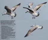 Mongolian Gull (Larus mongolicus)