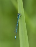 Libellen en Waterjuffers (Dragonflies and Damselflies)