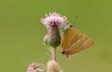 Sleedoornpage (Thecla betulae) - Brown Hairstreak