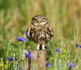 Steenuil (Little Owl)