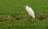 Grote Zilverreiger (Western Great Egret)