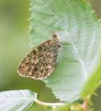 Vlinders (Butterflies)