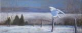 Harfang des neiges expérimenté 10x24 - Collection privée