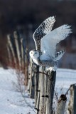 Fence-Hopping Juvenile Snowy Owl