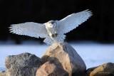 Fun With Ducks  and Birds       -----------------------          Ravissement avec les canards et les oiseaux  --------