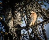 A Young Hawk