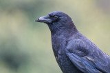 Crow with a Broken Beak