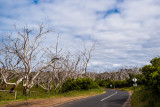 Manna gum forest killed by overpopulated koalas
