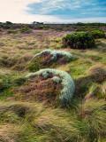 Vegetation coastal heath with clumps of succulent near Port Campbell Vic