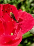 Knockout Rose & Happy Bug