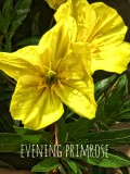 Evening Primrose — Song Lyrics