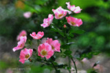 To a Wild Rose-- Poem