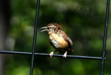 Late for Young Wrens