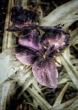 Spider Wort Bloom