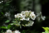 Wild Rose Blossoms