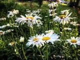 Shasta Dasies in my Yard