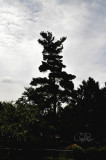 Stately Tree