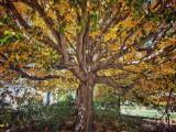 A Majestic 'Ol Tree!