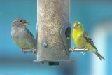 House sparrow + American goldfinch