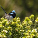 Birds from Australia