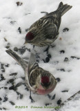 Two Redpolls...we have been waiting!