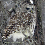 Today there were two barred owls here!