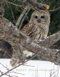 Second Barred Owl