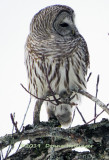 i think this is the female Barred Owl  from a couple of days ago