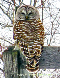 Barred Owl Last night's last look!