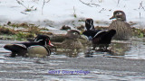 Two males and two Females Woodducks