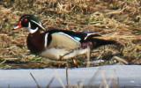Male Wood Duck on Icey Field